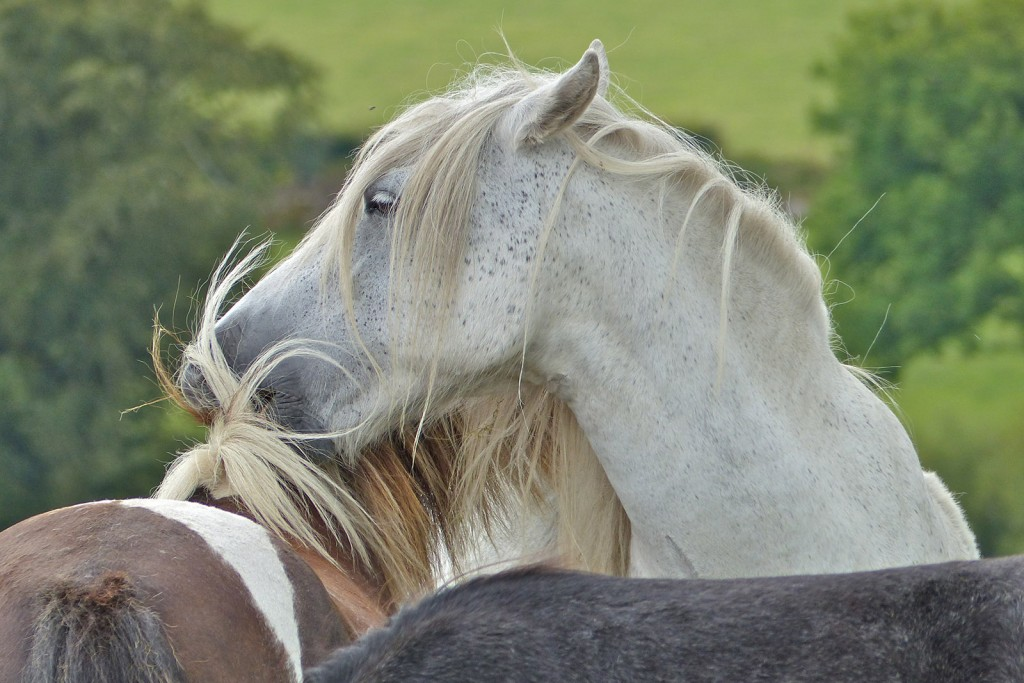 Dartmoor ponies, Warhorse Trail